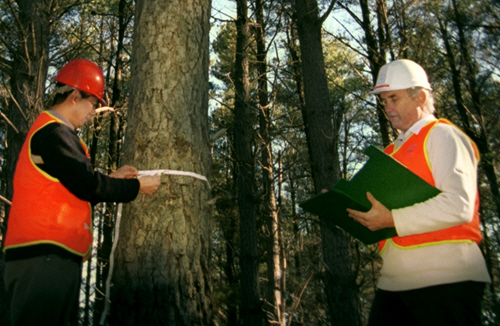 Two people in hard hats and reflective vests stand in the forest, conducting a measurement of the girth of a tree trunk.